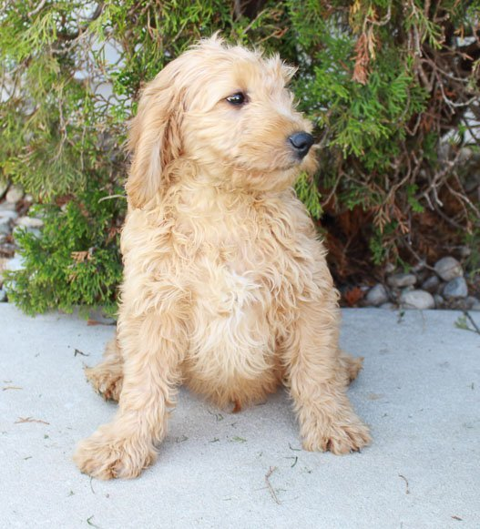 Taylor Goldendoodle Puppies For Sale Near Grabill Indiana