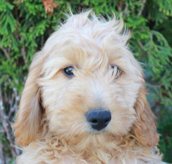 Taylor Goldendoodle Puppies For Sale Near Grabill Indiana Vip Puppies