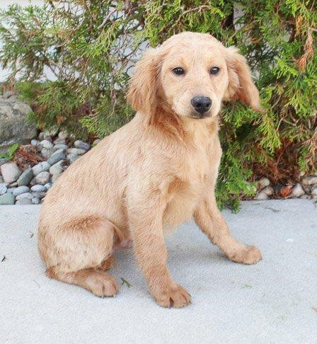Trey - Goldendoodle puppy for sale in Grabill, Indiana