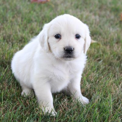 Ava - AKC Golden Retriever puppies forsale near Fort Wayne, Indiana