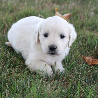 Fluffy - girl Golden Retriever puppies in Grabill, Indiana sale