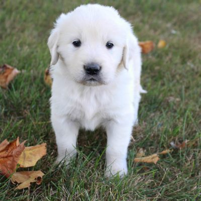 Oliver - AKC boy Golden Retriever puppers for sale in Grabill, Indiana
