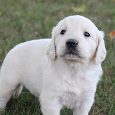 Zoey - Female Golden Retriever pups in Grabill, Indiana for sale