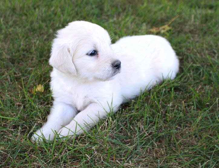 Marcy - akc pupper Golden Retriever forsale near me (Grabill, Indiana)