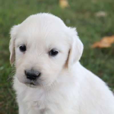 Zeke - AKC Male Golden Retriever puppy for sale near Fort Wayne, Indiana