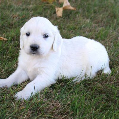 Max - AKC male puppy Golden Retrievers forsale in Grabill, Indiana