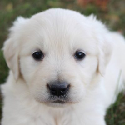 Sue - Golden Retriever pups for sale in Grabill, Indiana