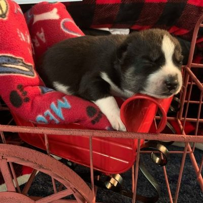 Nanuk - Male Siberian Husky pupper for sale near Houghton Lake, Michigan