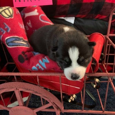 Nikita - girl Siberian Husky doggies for sale in Houghton Lake, Michigan