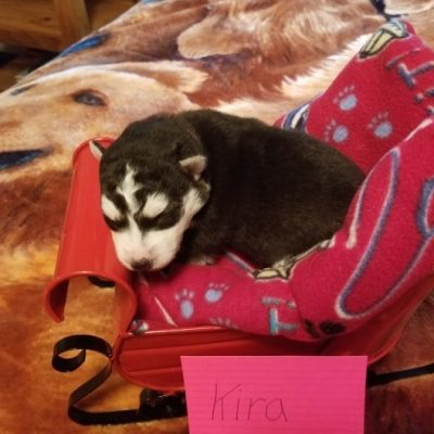 Kira - Siberian Husky puppies for sale near Houghton Lake, Michigan
