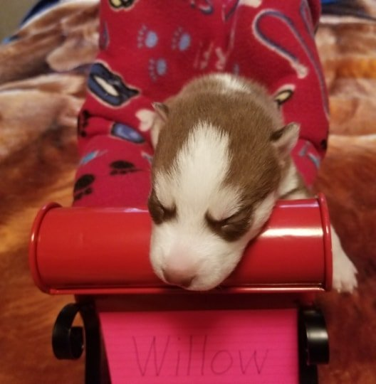 Willow - Siberian Husky pups for sale in Houghton Lake, Michigan