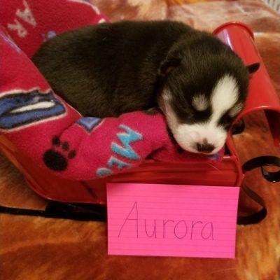 Aurora – puppy Siberian Huskies for sale in Houghton Lake, Michigan