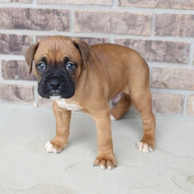 Dax - puppy Boxers in Grabill, Indiana for sale