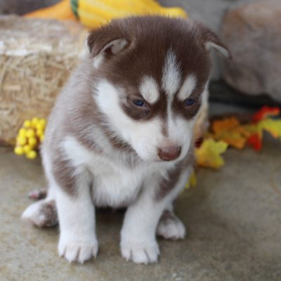 Kennedy - AKC Siberian Husky puppy for sale near Fort Wayne, Indiana