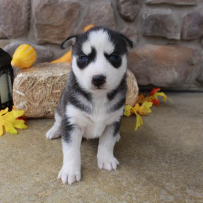 Kade - male AKC Siberian Husky doggie for sale in Grabill, Indiana