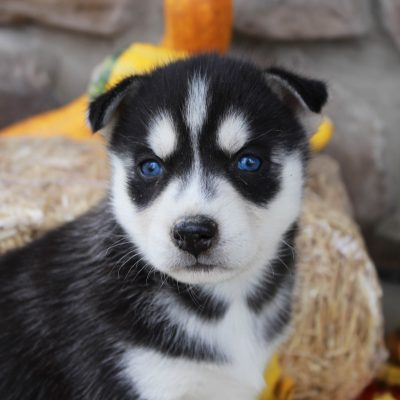 Krista - Siberian Husky puppy near Grabill, Indiana for sale