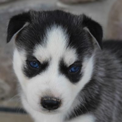 Kylen - male AKC pup Siberian Huskies for sale near Grabill, Indiana