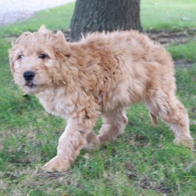 Abbie - pupper Goldendoodles near Fort Wayne, Indiana for sale
