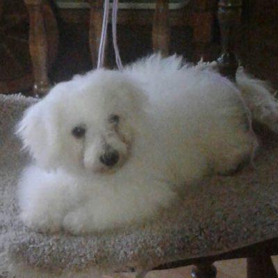 Sophie - Female AKC Bichon Frise puppy for sale in Edon, Ohio
