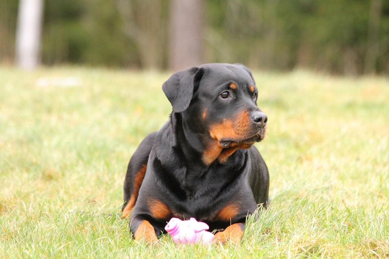 Rottweiler laying dog in a field.