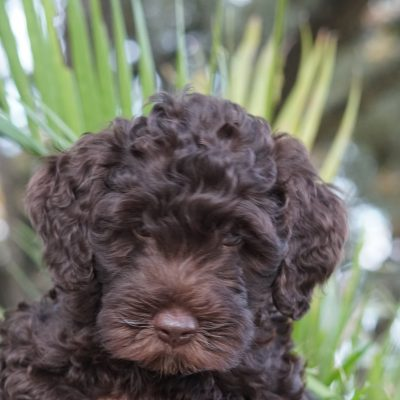 Willie - Male ALAA Australian Labradoodle puppy for sale in Austin, Texas
