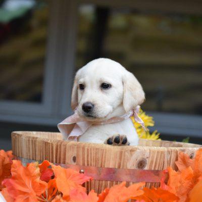 POTTY TRAINED!!! Charlotte - female puppy Labrador Retriever for sale in Chicago, Illinois