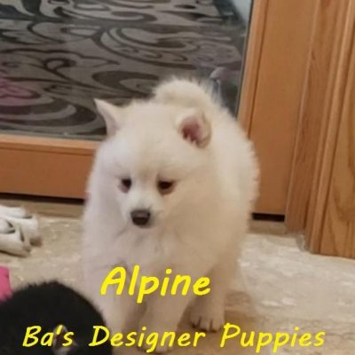 Alpine - male pupper Pomsky pets for sale in Pekin, Illinois