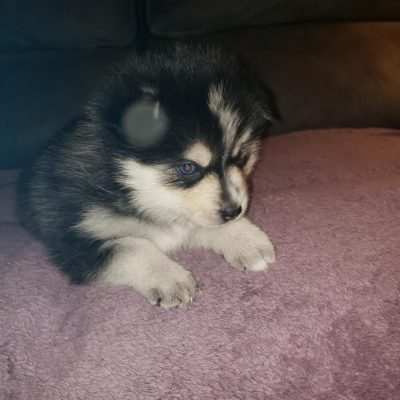 Kiko - male Pomsky pup for sale in Pekin, Illinois