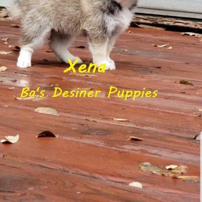 Xena - Female Pomsky puppy in Pekin, Illinois for sale