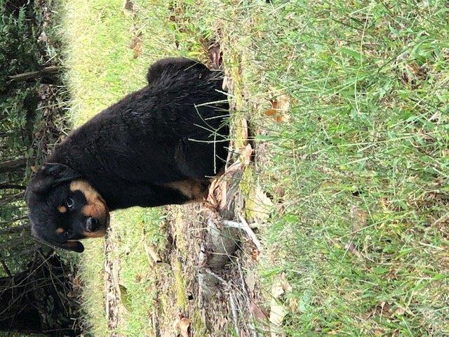 Blue - AKC Rottweiler puppy for sale in Dennard, Arkansas