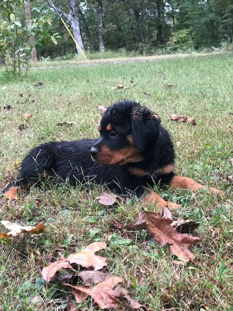 Pink and White Collar - AKC Rottweiler puppy for sale in Dennard, Arkansas