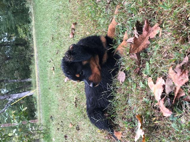 Pink Collar - AKC Rottweiler puppy for sale in Dennard, Arkansas