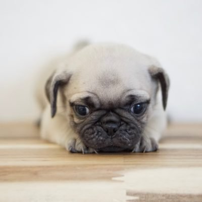 Crinkles - female Pug puppy for sale near Miami, Florida