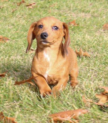 Denver - AKC Dachshund dogs for sale in Shipshewana, Indiana