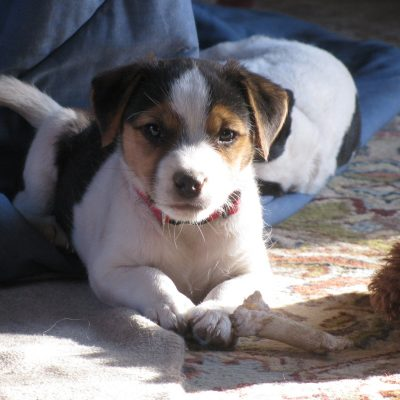 Benny - Parson Russel Terrier doggies in Wikieup, Arizona for sale