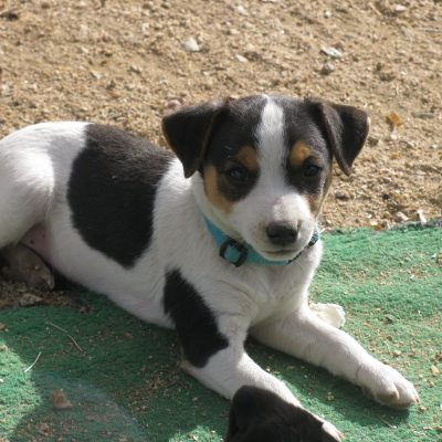 Quincy - male Parson Russel Terrier pups in Wikieup, Arizona for sale