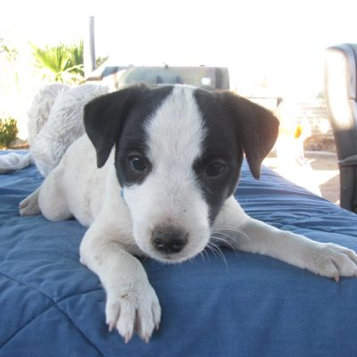 Oreo - Parson Russel Terrier puppy for sale in Wikieup, Arizona