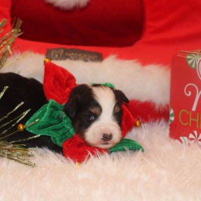 Ace - ASDR pup Toy Aussie for sale near Nashville, Tennessee