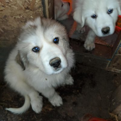 Green/Green Arrow - Great Pyrenees doggie for sale from Darien Center, New York
