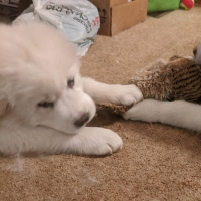Grey/Lady Grey - puppies of Great Pyrenees for sale in Darien Center, New York