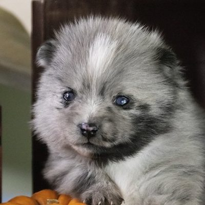 Arya - female Pomsky pupper for sale in Los Angeles, California