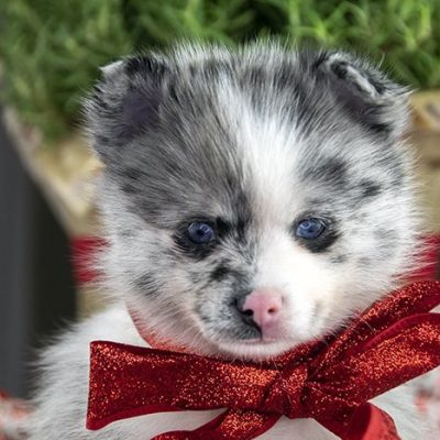 Daenerys - puppy Pomsky for sale in Los Angeles, California