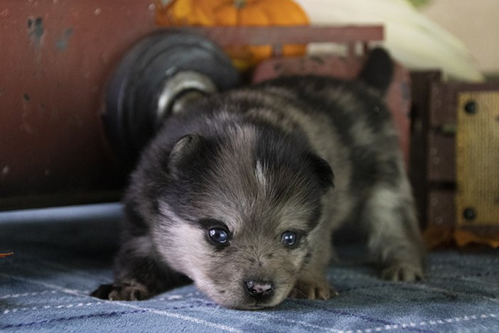Drogo - Pomsky puppy for sale in Los Angeles, California