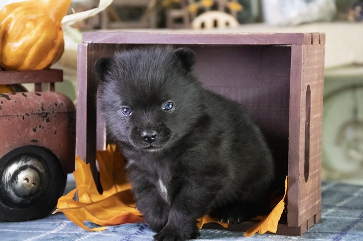 Neo - male Pomsky pups for sale in Los Angeles, California