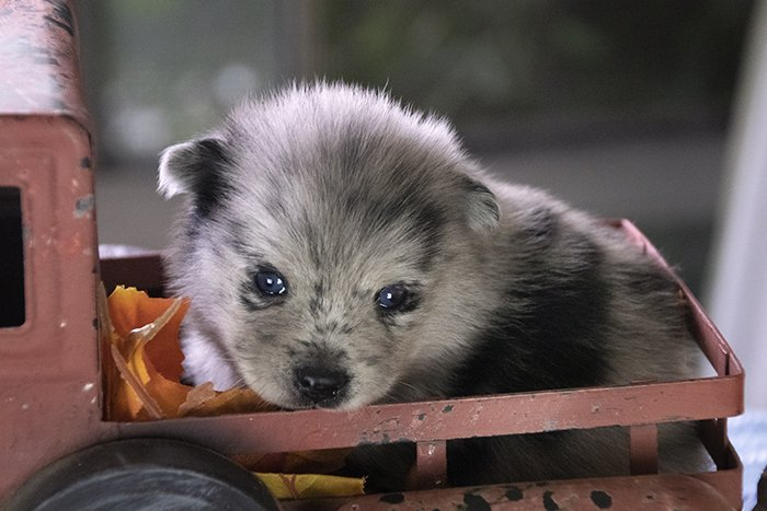 Stark - Pomsky puppies for sale in Los Angeles, California