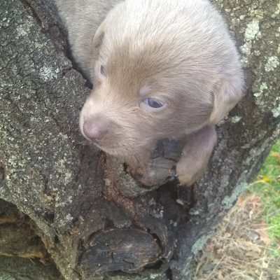 Stormy - female AKC Labrador Retriever puppy for sale at Greensboro, North Carolina
