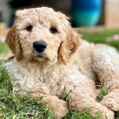 Lemon Drop - Goldendoodle puppy for sale in Huntsville, Alabama