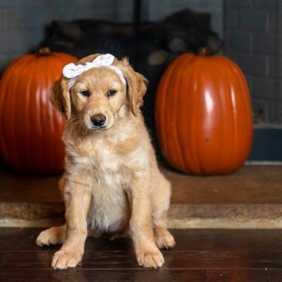 Big Red - CKC female Goldendoodle puppy near Huntsville, Alabama for sale