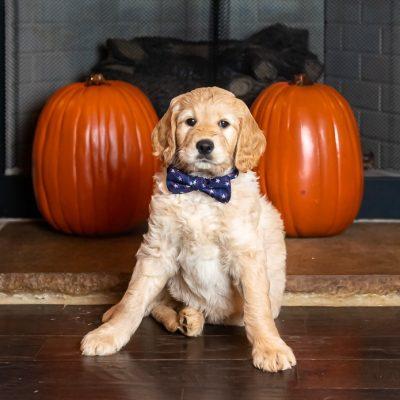 KnoxLee Jr. - puppy Goldendoodles for sale in Huntsville, Alabama