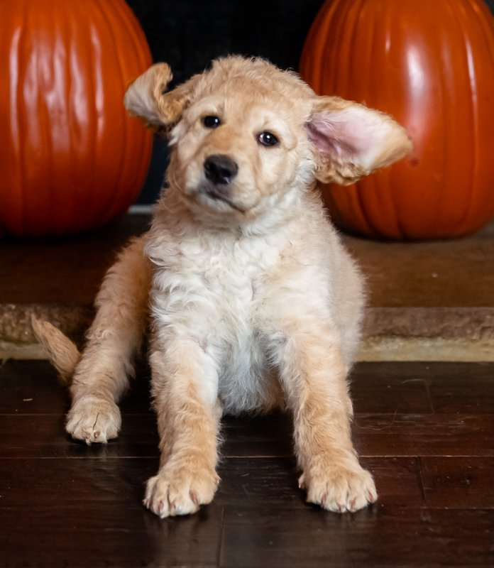 Miss Green - Goldendoodle puppies for sale near Huntsville, Alabama
